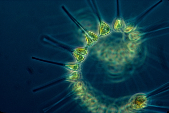 <strong>Plankton Portal</strong>. Phytoplankton like this are the foundation of the oceanic food chain. Plankton Portal enlists citizen scientists to identify images of plankton, which helps researchers understand plankton diversity, habitat, and behavior. Courtesy NOAA MESA Project.
