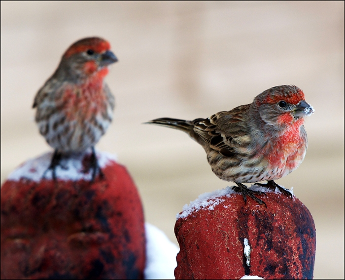 <strong> Science is for the birds</strong>. Long-running citizen science project eBird relies on birdwatchers to collect data on bird population and habitat. In May 2015, there were 9.5 million records uploaded to eBird's database. These are two male house finches in Montana. Courtesy Jeanette Tasey, Cornell Lab.