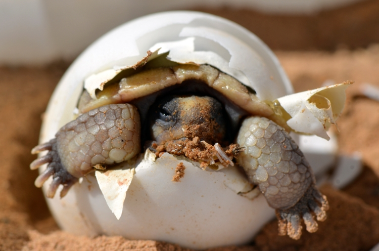 A desert tortoise (Gopherus agassizii) hatching from its egg. Research on desert tortoises helps federal and state management agencies improve land use and conservation plans, and balance the recovery of this threatened species with other resource use priorities. Courtesy K. Kristina Drake, US Geological Society (USGS).