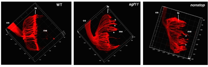 <strong>The eyes have it.</strong> Supercomputers aid Weake's lab to undersand deteriorating drosophila eyes. Pictured: Photoreceptor cell projection patterns visualized in (from left) wild type, sgf11, and nonstop. Courtesy Vicki Weake.