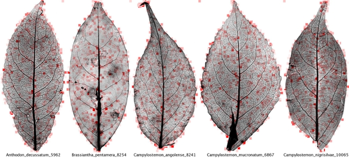 <strong>Turning over a new leaf.</strong> Computers can detect leaf variations imperceptible to most human eyes. Thanks to computer vision, scientists will soon be able to unlock a treasure trove of evolutionary data, placing fossilized leaves in their rightful place on the evolutionary tree of life. Courtesy Peter Wilf, et al.