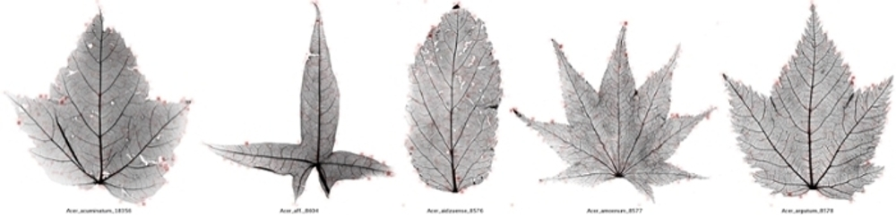 <strong> Feel the heat.</strong> Leaf images from members of the Sapindaceae (Soapberry) family that includes maples, mahogany, horse-chestnuts, mangos, and cashews. Computers learned to identify families of leaves through heat mapping, a technique that identifies important characteristics of the angiosperm family. Courtesy Peter Wilf, et al.