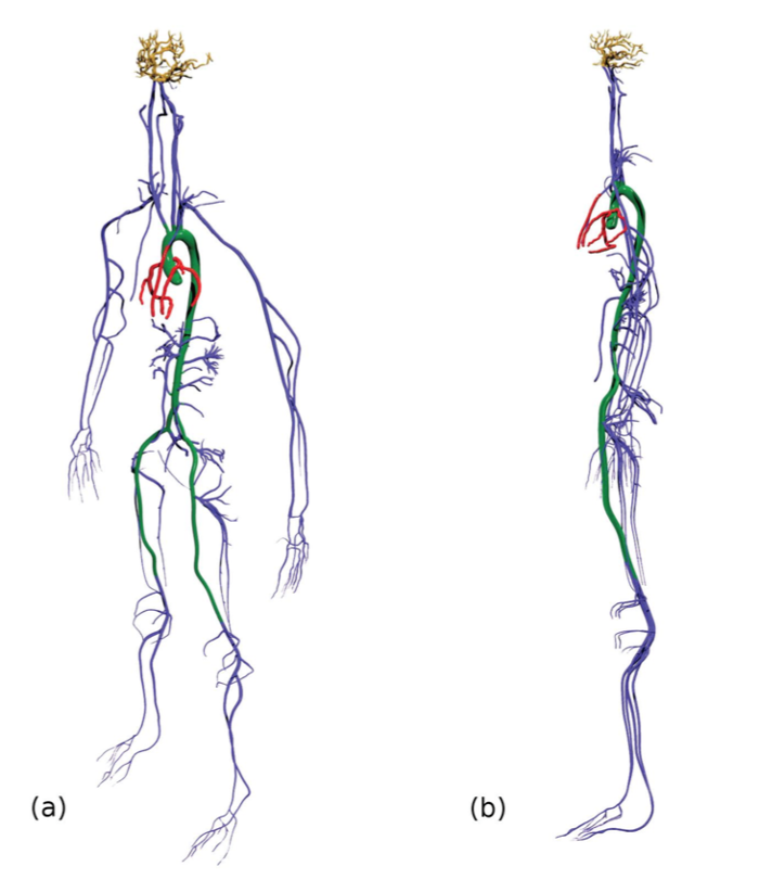<strong>Going with the flow. </strong> High resolution 3D simulations down to the cellular level have scientists very excited about the potential for precision medicine. The vessels shown in blue demonstrate the arterial tree, modeled including all arteries with diameters greater than 1mm. Courtesy Amanda Randles.