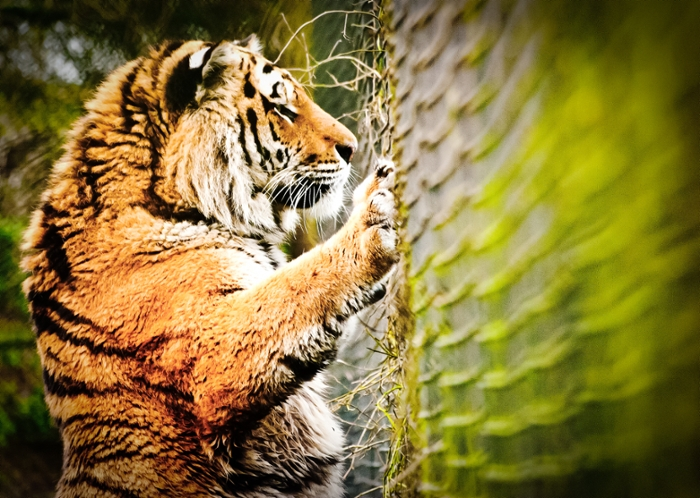 <strong> Saving stripes.</strong> The Siberian tiger is one of the big cats being hunted into extinction, with more in captivity than in the wild. Artificial intelligence aids NSF-funded researchers to locate and respond to poachers. Courtesy Richard Clark. <href = 'https://creativecommons.org/licenses/by-nc/2.0/legalcode'> CC BY-NC 2.0.</a>
