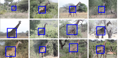 <strong>Computational conservation corps. </strong>Using a computer vision object detection algorithm, machine learning, and Microsoft virtual supercomputers, scientists are battling to save giraffes. Courtesy Wildlife Nature Institute.