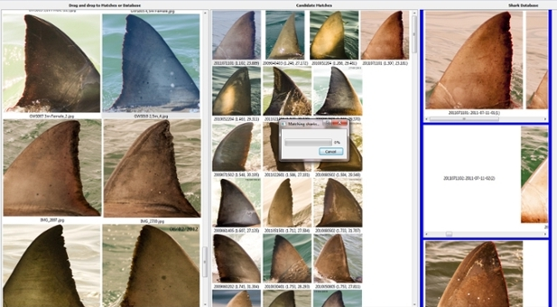 <strong>Identity crisis? </strong> Identifin is a database of shark fins that employs algorithms to match new shark sightings to existing dorsal fin records. Courtesy Sara Andreotti.