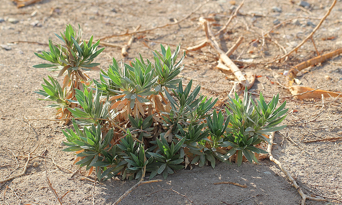 <strong>Rhayza stricta.</strong> From the periwinkle family, the plant is used in chemotherapy protocols for leukemia and Hodgkin's lymphoma. Researchers are studying its nuclear genome sequence to identify new chemotherapeutic compounds. Courtesy Tracey Ruhlman.