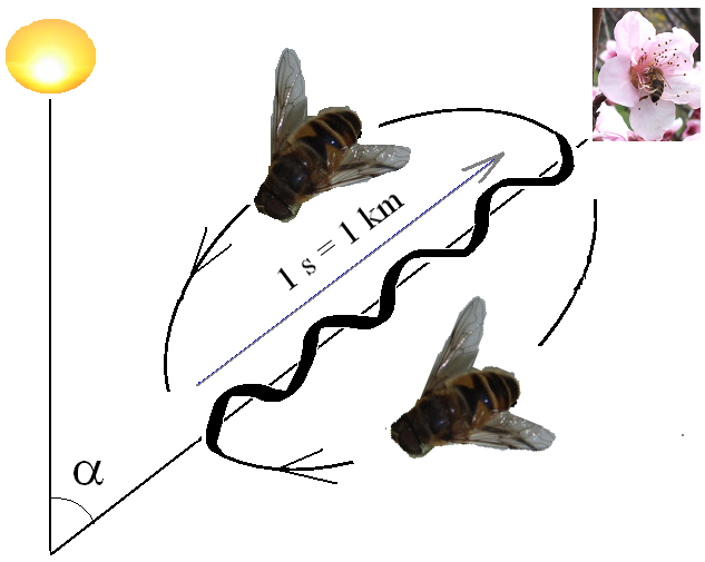 <strong>Do the hokey-pokey. </strong> Bees tell a story about food with the waggle dance. but there's more to the story than that. To find out what, Landgraf's biorobotics group is learning to think like a bee. Courtesy Wikimedia. <a href= 'https://creativecommons.org/licenses/by-sa/3.0/legalcode'>Creative Commons Attribution-Share Alike 3.0</a>