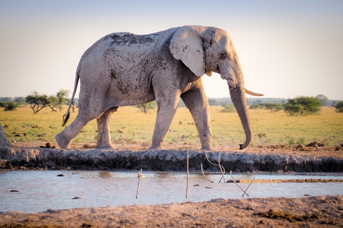 <strong>Big foot.</strong> Seismic vibrations may carry elephant communication farther than sounds moving through the air, offering researchers a non-intrusive way to track large, endangered animals. Courtesy Benjamin Pley/Unsplash.