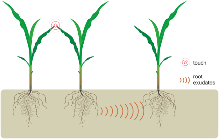 <strong>At the root.</strong> When plant seedlings are touched on their leaves they exude compounds that communicate to their neighbors through their roots underground. Courtesy Elhakeem et al. <a href='https://creativecommons.org/licenses/by/4.0/'>(CC BY 4.0)</a>
