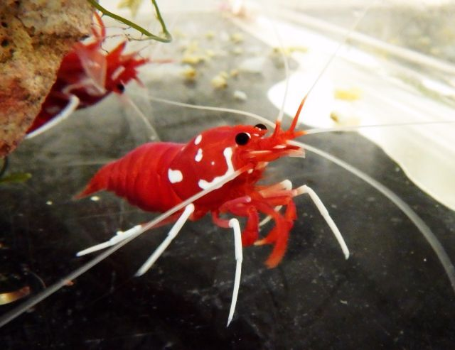 <strong>It's complicated.</strong> This cute crustacean offers a green alternative to chemicals by cleaning (i.e. eating) parasites off fish in commercial farms and reducing infections. The only downside is that the ungrateful fish sometimes return the favor by eating the shrimp. Courtesy James Cook University.