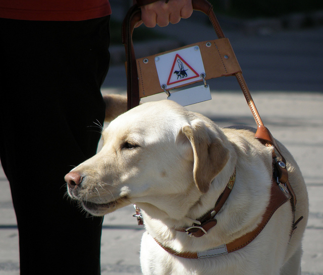 <strong>Out of a job?</strong> Living guide dogs like Eevi require 4-6 months of expensive training. Could a voice controlled-robot dog perform the same tasks? Courtesy smerikal. <a href='https://creativecommons.org/licenses/by-sa/2.0/'>(CC BY-SA 2.0)</a>