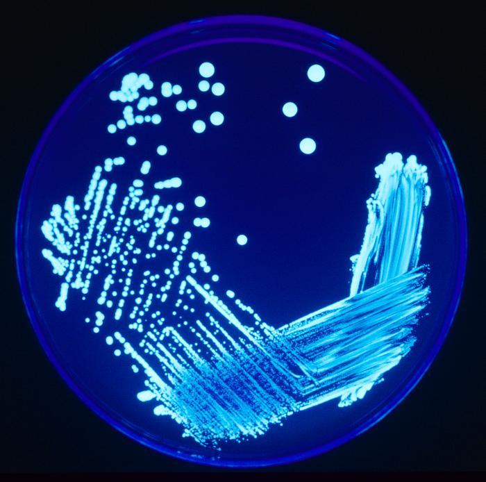 <strong>Blue streak.</strong> Scientists traditionally study microorganisms by streaking bacteria on a plate and letting it grow until a colony develops. One of the reasons dark life has been so elusive is that it doesn't respond well to this method. Courtesy CDC.