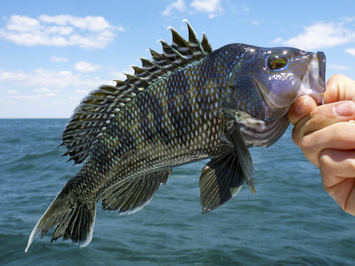 "<strong>Winners and losers.</strong> Black sea bass are one of the climate change ""winners"" that have increased with warming ocean temperatures, but haddock in the North Sea are climate change ""losers"" as a result of warming ocean temperatures. Courtesy Orion Weldon."