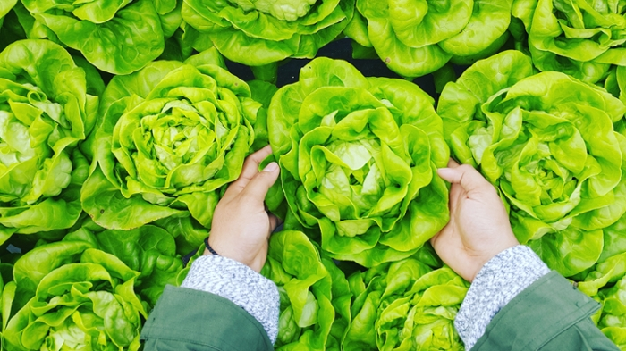 <strong>Life-saving lettuce.</strong> Genetically-engineered lettuce could offer a non-invasive solution for patients whose bodies reject clotting factor replacement treatments for hemophilia.