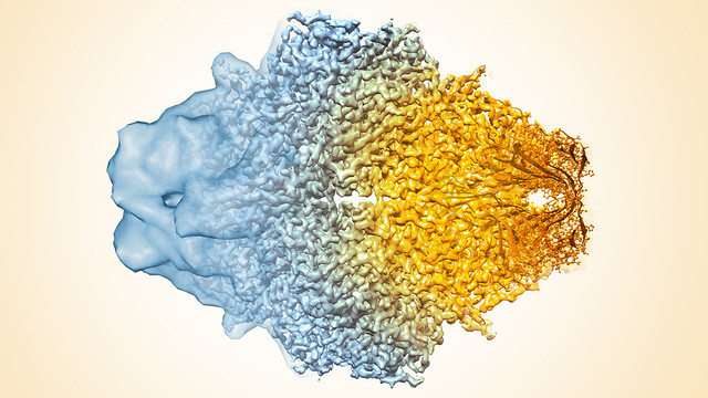 <strong>Resolution revolution.</strong> The blob-like area on the left of this cryo-EM composite image of beta-galactosidase would have been considered state-of-the-art just a few years ago. The detailed structure on the right shows >10x greater resolution thanks to technological improvement and advanced computational methods. Courtesy Veronica Falconieri, Subramaniam Lab, National Cancer Institute.
