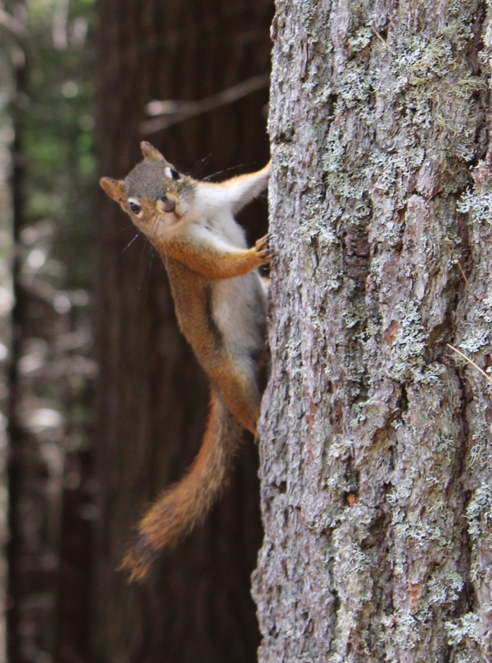 <strong>Natural born busybody.</strong> New research suggests that squirrels listen to birdsong to tell them when to relax after a threat.