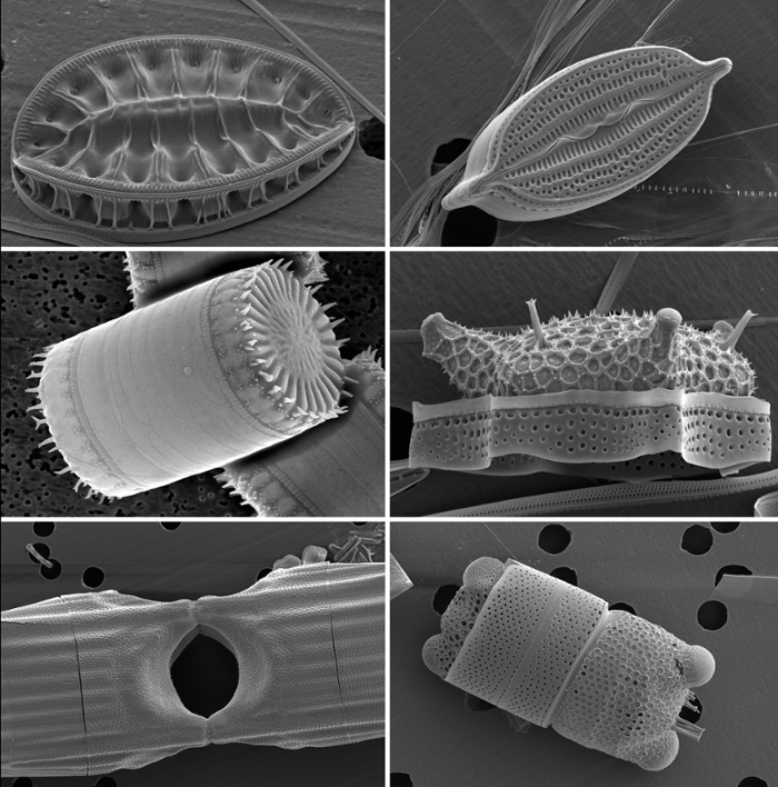 <strong>Scanning electron micrographs</strong> show the ornate silica cell walls of six diverse diatom species. These cells are roughly 20–200 micrometers in size. Courtesy Andrew Alverson and Elizabeth Ruck.