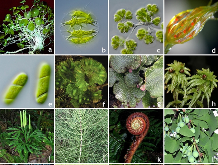 <strong>The wide diversity</strong> of green plants inlcudes green algae and land plants. Photos courtesy Michael Melkonian (University of Cologne), Dennis Stevenson and Robin Moran (New York Botanical Gardens), and Walter Judd (University of Florida).