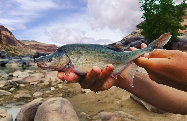 <strong> The endangered humpback chub</strong> lives in the waters of the Colorado River. Its population has declined dramatically due to habitat loss. Courtesy US Fish and Wildlife Service.