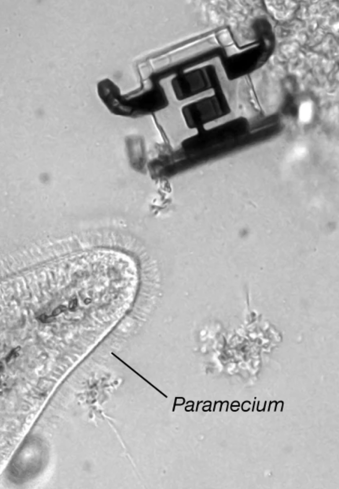 <strong>No bigger than a paramecium.</strong> These microscopic robots walk on legs connected to solar cells on their backs that bend in response to laser light. Courtesy Miskin, et al.