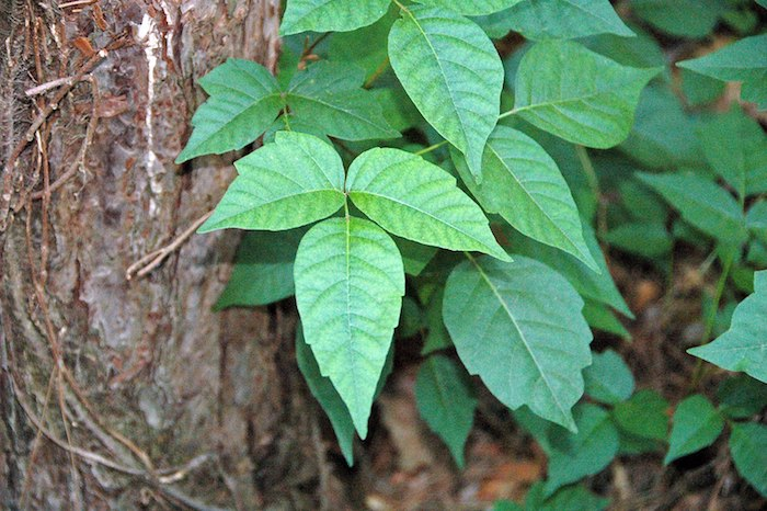 <strong>Bigger and nastier.</strong> Rising levels of carbon dioxide in the atmosphere is making poison ivy bigger, stronger, and more poisonous to humans. Courtesy James St. John. <a href='https://creativecommons.org/licenses/by/2.0/deed.en'>(CC BY 2.0)</a>