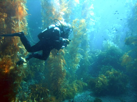 <strong>Kelp forests</strong> like this one play a major role in sucking up the carbon dioxide that is acidifying the oceans.