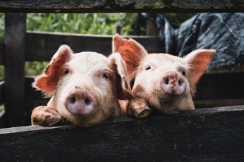 <strong>Domestic animals like pigs</strong> have been with us so long, that we're used to their diseases. But our encroaching on wildlife and nature is bringing humans into contact with diseases we aren't ready for.