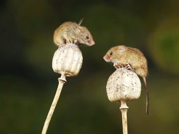<strong>Much like humans,</strong> mice have intense social needs. A study like this may be able to help us develop treatments for humans who struggle with empathy.
